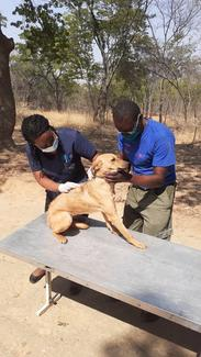 Zimbabwe National Society for the Prevention of Cruelty to Animals (ZNSPCA), GARC World Rabies Day award shortlisted demonstrating their vaccination activities.