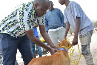 Temporary collars were placed in all vaccinated dogs to help estimate coverage later in the evening. here is Maganga sambo from Ifakara health institute putting collar